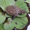 taricaya turtle release