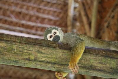 monkey island iquitos