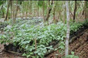 ayahuasca iquitos