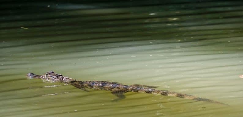 caimanes en la selva