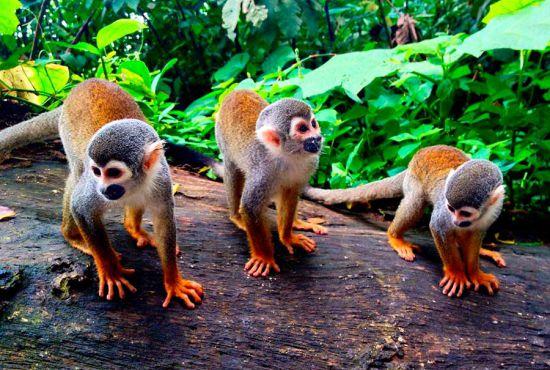 monkey-island-iquitos